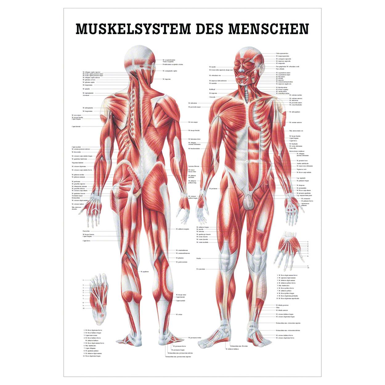 menschliches muskelsystem lehrtafel anatomie 100x70 cm medizinische lehrmittel ebay. Black Bedroom Furniture Sets. Home Design Ideas